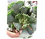 TEE 1 Bare Root Medium Succulent Plant. Adromischus Cristatus or Key Lime Pie Rosette of Fuzzy - RK69