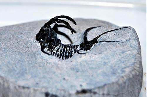 Ceratages Trilobite Fossil Morocco 390 Million Years Old #14331 13o by Fossils, Meteorites, & More (Image #1)
