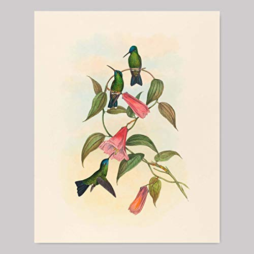 Hummingbird Wall Art (Living Room Wall Decor, Bedroom Print) John Gould Botanical Bird Artwork