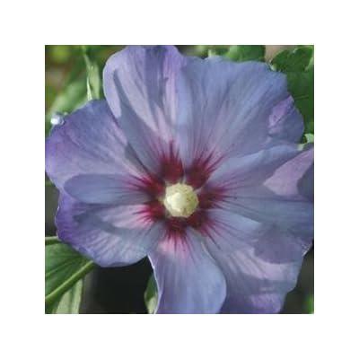 Hibiscus-Azurri-Blue-Satin - QT Pot (Shrub) : Garden & Outdoor
