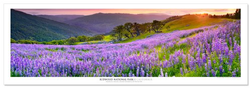 - Award Winning Landscape Panoramic Art Print Poster: Redwood National Park