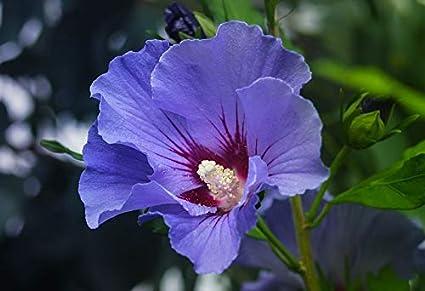 Aiden Gardens Dwarf Hybrid Hibiscus Plant Purple Color Flower 1
