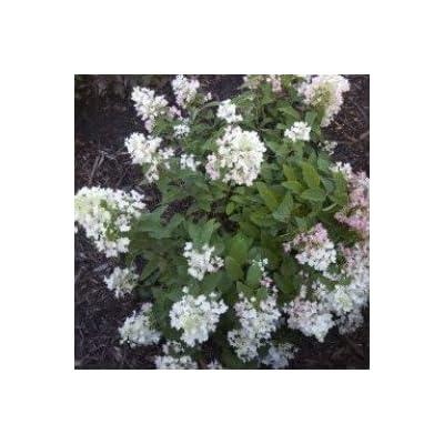 White Diamonds Hydrangea> Hydrangea paniculata 'White Diamonds'> Landscape Ready 2 Gallon Container : Garden & Outdoor