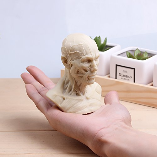 Human Model Anatomy Skull Head Muscle Bone Medical Art For The School