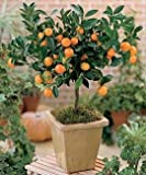 Citris Mitis Calamondin-Minature Orange Tree 5 seeds