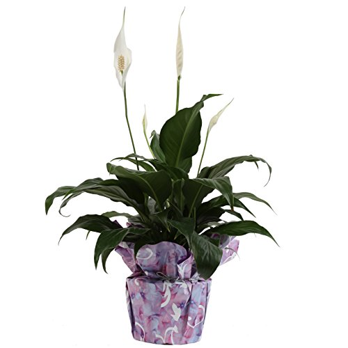 - Costa Farms, Premium Live Indoor Peace Lily, Spathiphyllum, Tabletop Plant, Gift-Wrapped Decorator Pot, Shipped Fresh From Our Farm, Excellent Gift