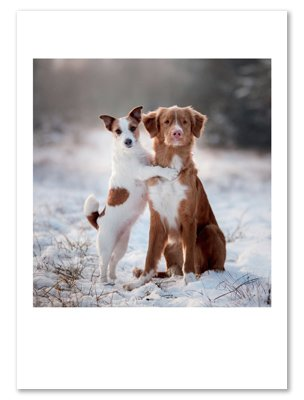 Amazon jack russell terrier australian shepherd dog 12 jack russell terrier australian shepherd dog 12 dozen holiday christmas greeting cards with m4hsunfo