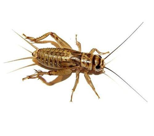 Live Feeder Crickets 1000(ct) Medium 1/2