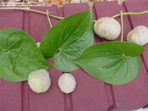 8 Ornamental Air Potato Vine POTATO PODS -Dioscorea Bulbifera-Heirloom-Perennial