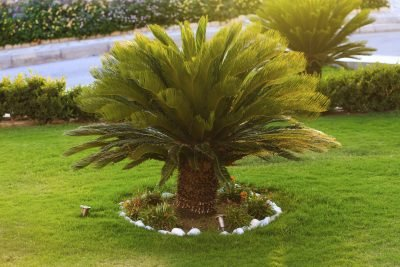 (3 gallon) Sago Palm Tree- Popular houseplant known for its feathery foliage and ease of care. Great plant for beginners and makes an interesting addition to any room