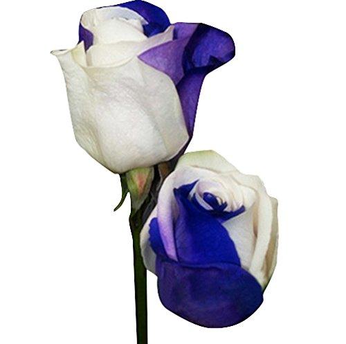Futaba rare blue and white rose flower seeds 20 pcs amazon futaba rare blue and white rose flower seeds 20 pcs amazon garden outdoors mightylinksfo