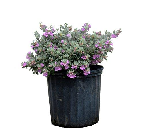 Leucophyllum frutescens, Texas Sage, Cenizo, Barometer Bush, Silverleaf, Purple Sage, Texas Ranger