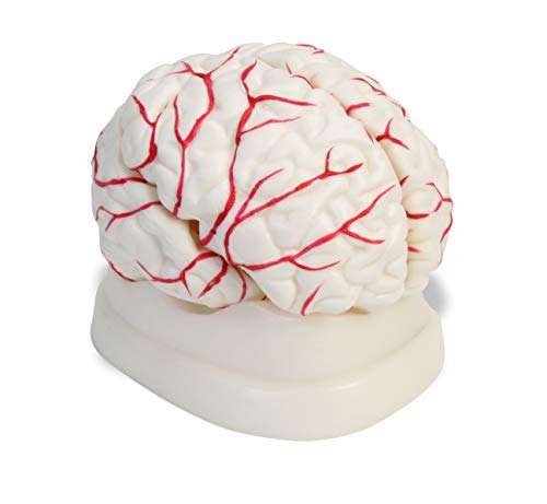 American Educational 7-1414 Eight-Piece Human Brain Model, Life-Size, Plastic, Includes Base]()
