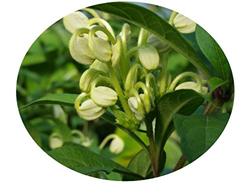 (Musical Notes Tropical Perennial Live Plant Clerodendrum incisum Unique Unusual Green White Flowers Starter Size 4 Inch Pot Emerald TM)