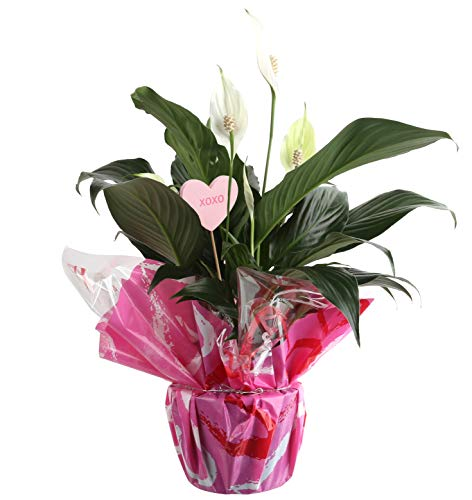 Costa Farms Spathiphyllum, Peace Lily Live Indoor Plant, Decorated with Valentine Gift Wrap, 15 to 18-Inches Tall, Great as Gift