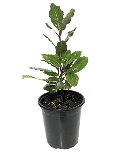"Ohio Grown Sweet Bay Laurel Herb - Laurus nobilis- 4.5""x4.5"" Pot"