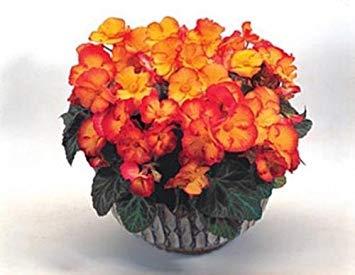 PlenTree 25 Seeds of Begonia Tuberous - Pin Up Pl Series - Flame