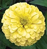 Flower Zinnia Giant Dahlia Flowered Creamy Yellow D1880A (Yellow) 200 Seeds by David's Garden Seeds