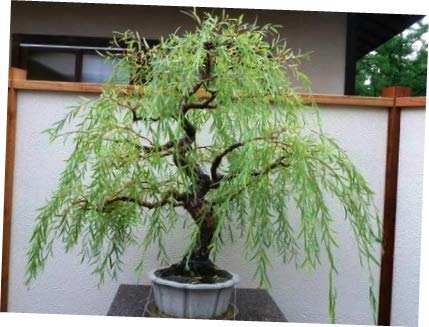 CORA Plant Bonsai Dragon Willow Tree - Large Thick Trunk Root Stock - One Live Tree - EB134