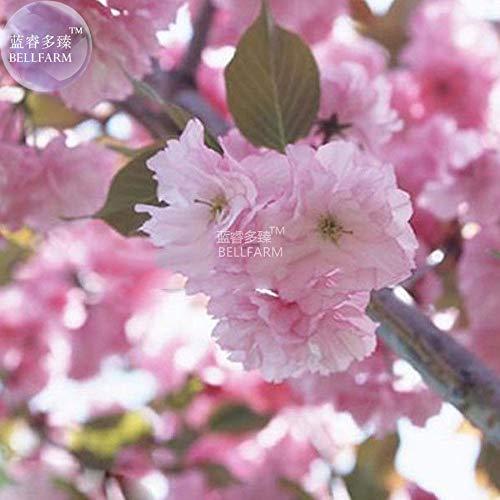(Japanese Pink Cherry Blossom Sakura Tree 20 Seeds Oriental Sweet Prunus Flowers)