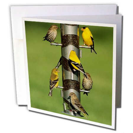 3dRose Danita Delimont - Bird - Pine Siskins and American Goldfinches on feeder, IL - 1 Greeting Card with envelope (gc_250904_5) Pine Finch Feeder