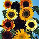 Mixed Sunflowers - 50 Seeds, 1.5 g - Helianthus