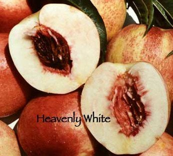 Heavenly White Nectarine Tree -- 12 by 12 Inch Container
