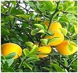 15 Seeds Hardy Orange Fruit Tree (Poncirus trifoliata) Edible Orange Fruit