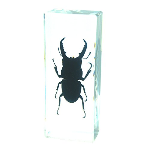 Real Stag Beetle Paperweight Insect Bug Collection Specimen Taxidermy-Large(4.3x1.7x1.1