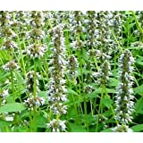 Anise Hyssop Snow White Spike Agastache Foeniculum - 20 Seeds