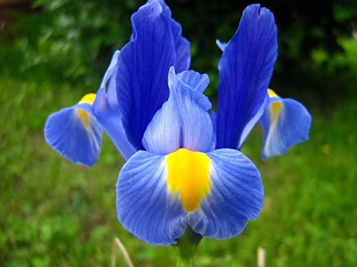 Blue Iris Bulbs-6 Bulbs-Bearded Unique Best for Any Garden Mix Colorful Flowering Perennial Root Plant