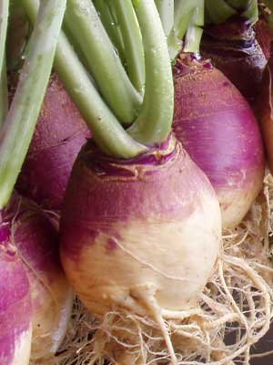 American Purple Top (20 Seeds of American Purple Top Rutabaga, Organic NON-GMO)