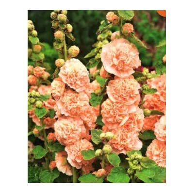 Halffle flowerseeds- Hollyhock Mixture (Hollyhock) Flower Seeds Hardy Perennial Herbal Flowers Organic Seeds Plant Seeds for Balcony/Flowerbed/Fences : Garden & Outdoor