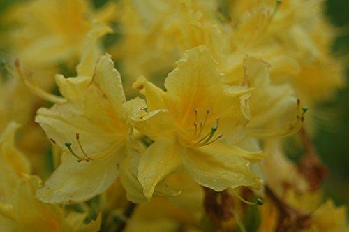 green-promise-farms-lemon-lights-azalea-potted-plant-lemon-yellow