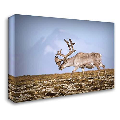 (Svalbard Reindeer Bull in Velvet and Summer Molt, Spitsbergen, Norway 40x28 Gallery Wrapped Stretched Canvas Art by De Roy, Tui)