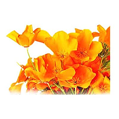 Marde Ross & Company 4000 Seeds - California Poppy - State Flower, Golden Orange Poppy, Re-Seeds - .25 Oz. : Garden & Outdoor