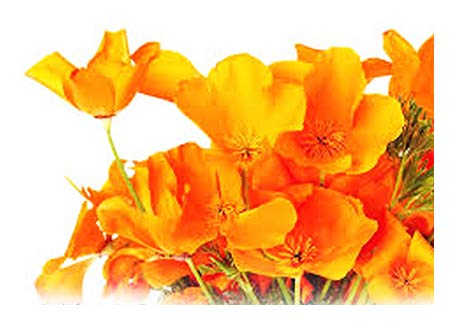 Marde Ross & Company 4000 Seeds - California Poppy - State Flower, Golden Orange Poppy, Re-Seeds - .25 Oz.