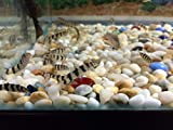 Yoyo Loach (Botia almorhae) - Almora/Pakistani Loach - Freshwater Tropical...