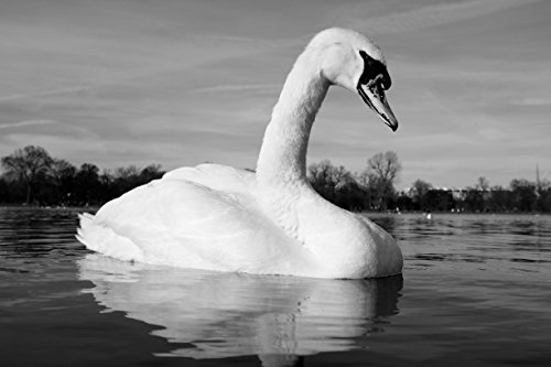 Nature Photography, Swan, Wildlife Photography, White Swan, Swan Lake, Swan Photography, Swan Photo, Swan Art, Swan Wall Art, Animal Photo by Amadeus Long