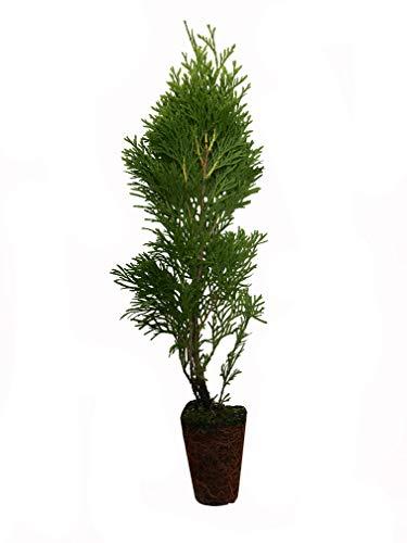 Thuja Emerald Green Arborvitae - 20 Live Plants - 2