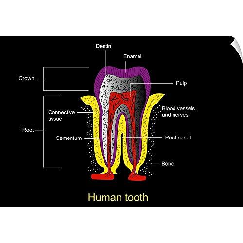 CANVAS ON DEMAND Human Tooth Anatomy, Diagram Wall Peel Art Print, 24″x17″