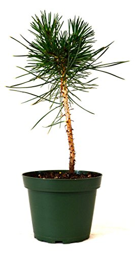 LovelyGarden Japanese Black Pine 4