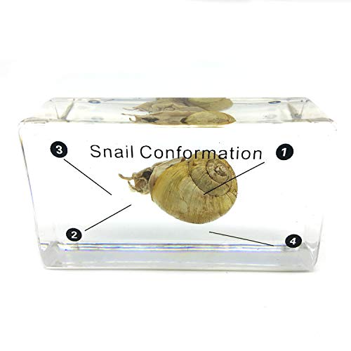 (Snail Conformation Specimen in Acrylic Block Paperweights Science Classroom Specimens for Science Education(2.9x1.6x0.9 Inch))
