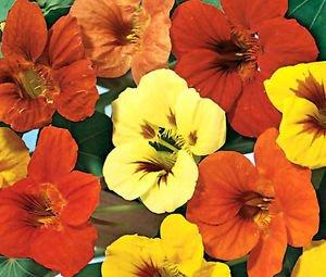 - Nasturtium Jewel Mix Tropaeolum Majus - 25 Seeds