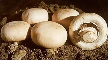Yukio Samenhaus Bio Garten Pilze Saatgut Steinchampignons Weiße