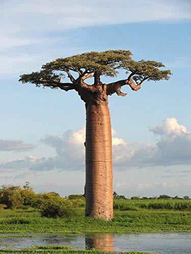 5 Adansonia Grandidieri Seeds, Grandidier's baobab , Giant Baobab Seeds