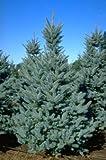 Bacheri Colorado Blue Spruce - The Bluest of the Colorado Spruces - 1 Year Live Plant