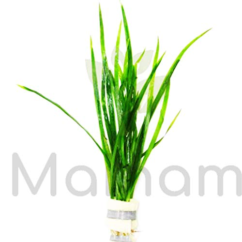 - Mainam Jungle Vallisneria Spiralis Rooted Easy Background Live Aquarium Plants Decorations 3 DAYS LIVE GUARANTEED By