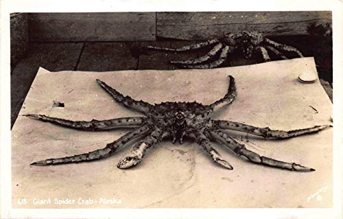 Real Photo Postcard Giant Spider Crab in Alaska~121355