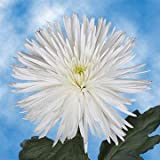 GlobalRose 50 Fresh Cut White Fuji Spider Mums - Fresh Flowers For Birthdays, Weddings or Anniversary.
